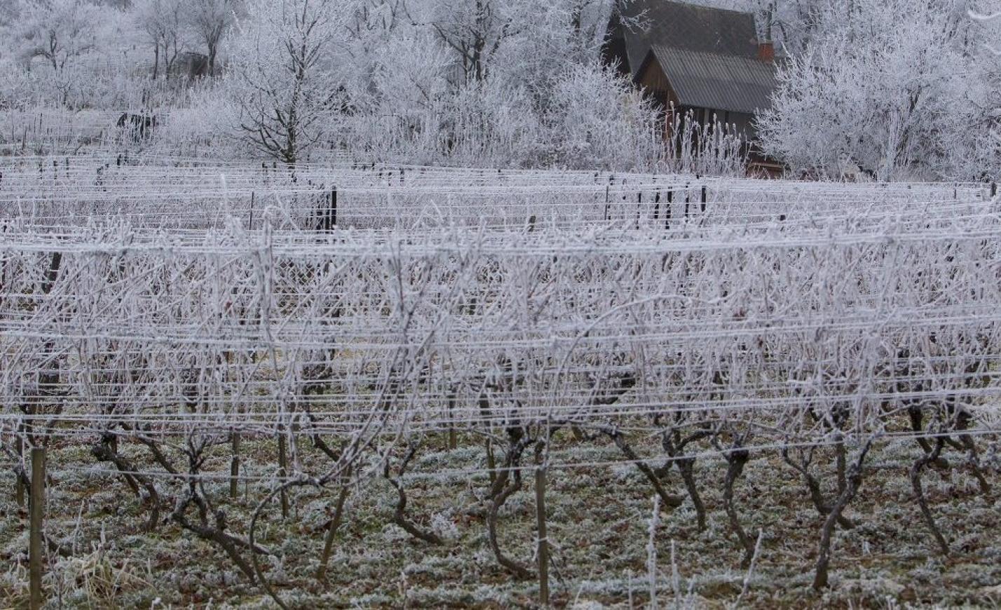 Szőlőpara a fagy miatt, drágulhat a gyümölcs és a bor is