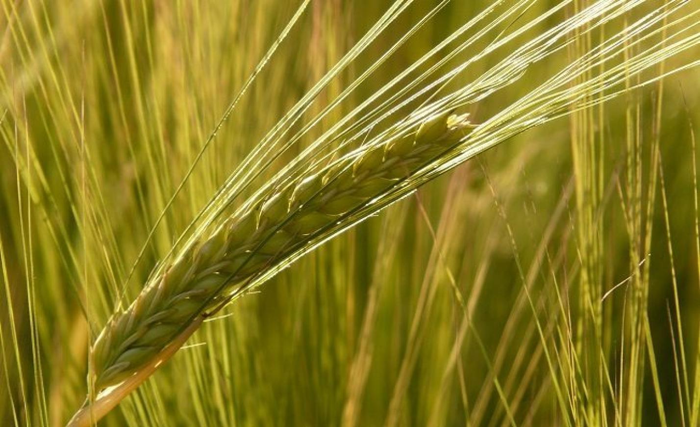 FM: egyre nagyobb szerepet kapnak a bioetanol-gyárak a gabonaágazat fejlődésében