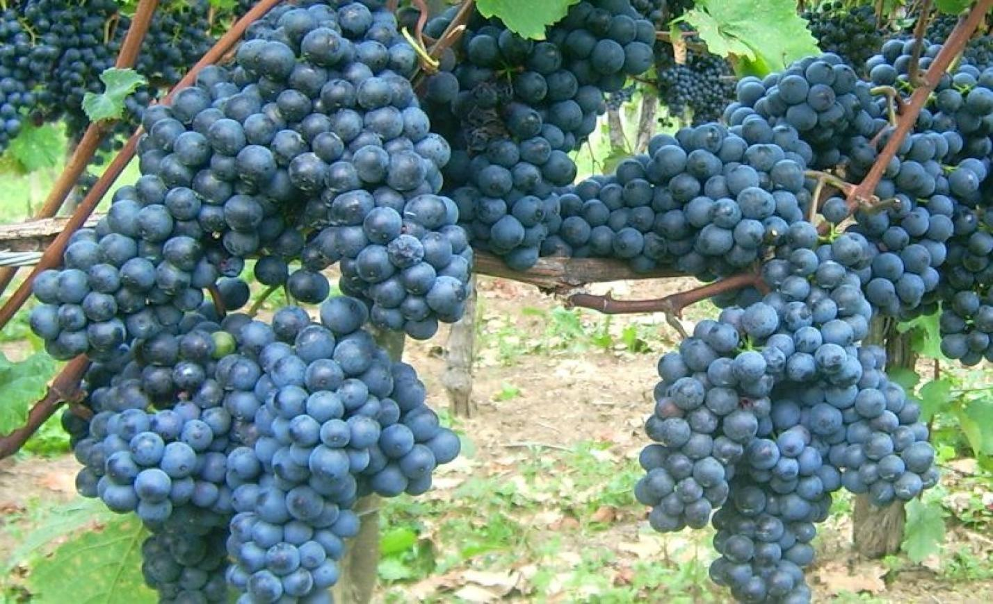 Ötven borászat Kékfrankos Április Nagykóstolón