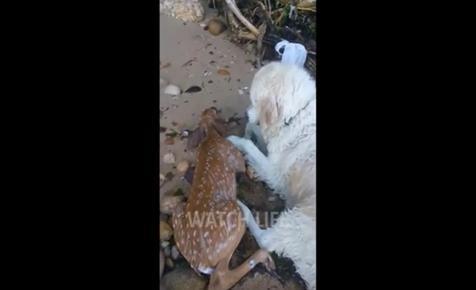 Fuldokló őzikét mentett ki egy kutya – videó
