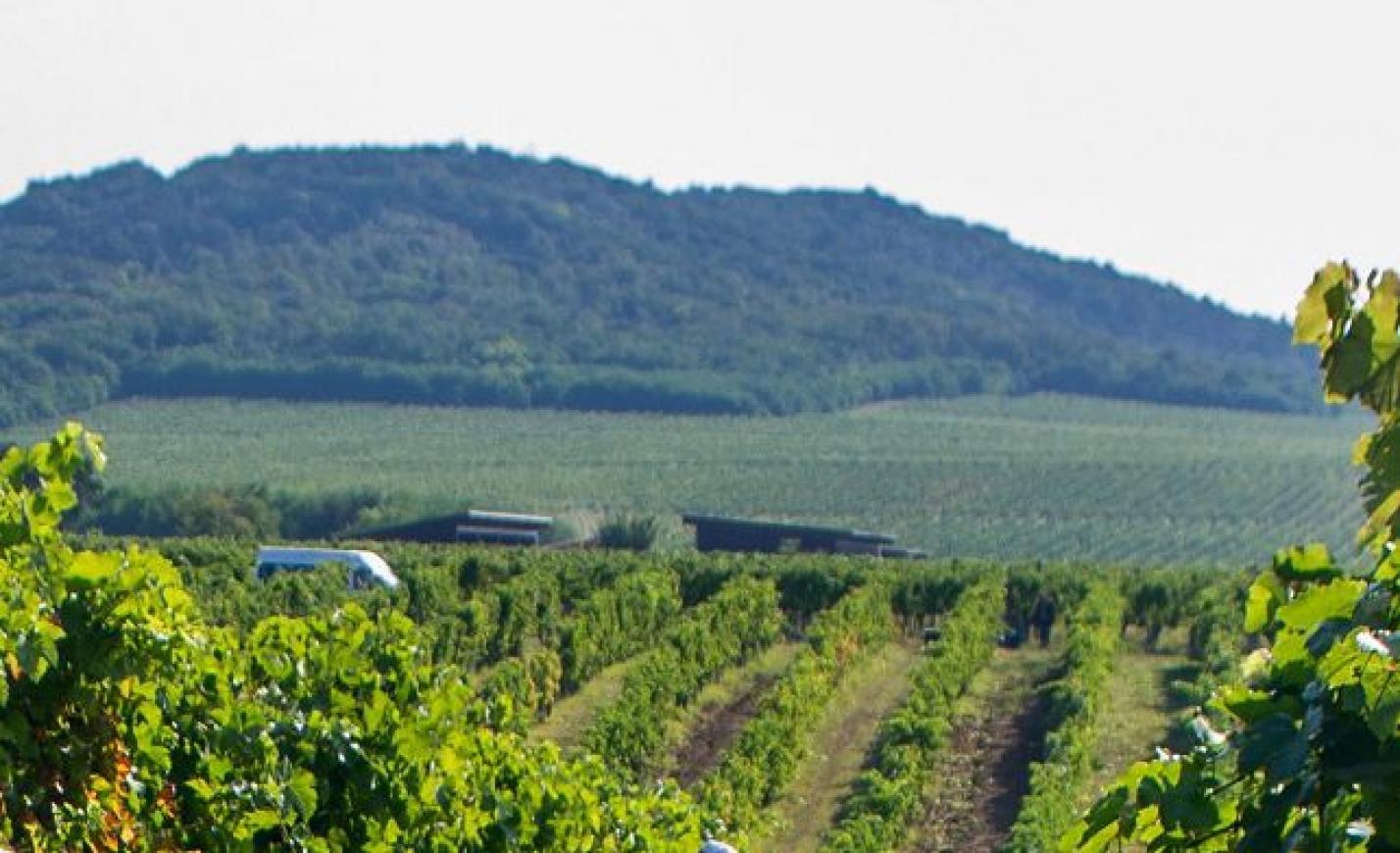 Kiemelkedően jó évjáratra számítanak a villányi bortermelők