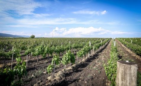 Megkímélte a fagy az egri szőlőt, sőt, a márciusi hideg még jól is jött