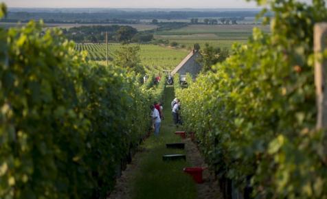 Katasztrófa lehet a 2018-as év a szőlőtermelőknek