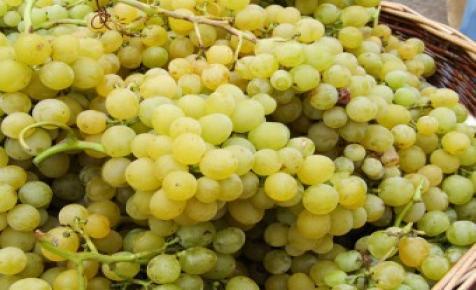 450 ezer tonna szőlőtermés várható