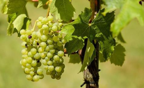 Agrárminisztérium: az idén 450 ezer tonna szőlőtermés várható