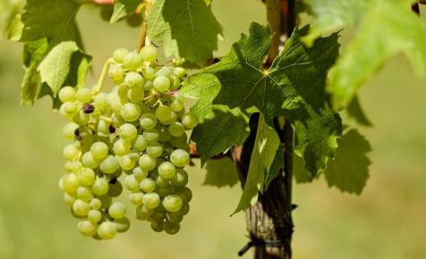 FruitVeb: jó minőségű és nagy mennyiségű lehet az idei szőlőtermés