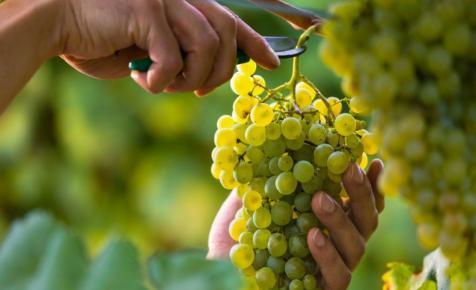 Nem lehet panasz az idei szőlőtermésre