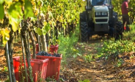 Pimaszul alacsony áron vásárolják fel a szőlőt
