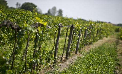 Ritka jó szőlőtermésre számítanak idén