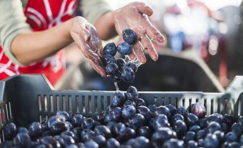 Ezt a gyümölcsöt megisszuk! - A szilva 70 százalékából pálinka lesz