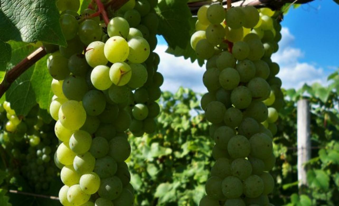 Mintegy 14,7 millió palack bort értékesít idén a Varga Pincészet