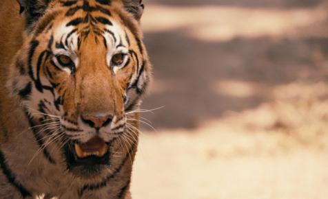 Addig csodáljuk a tigriseket, míg végleg kipusztítjuk őket