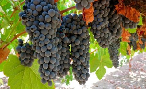 Itt vannak a hőségtűrő, új, francia szőlőfajták