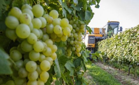 Nem segített a magyar szőlőnek az időjárás: hetekkel később kezdődik a szüret