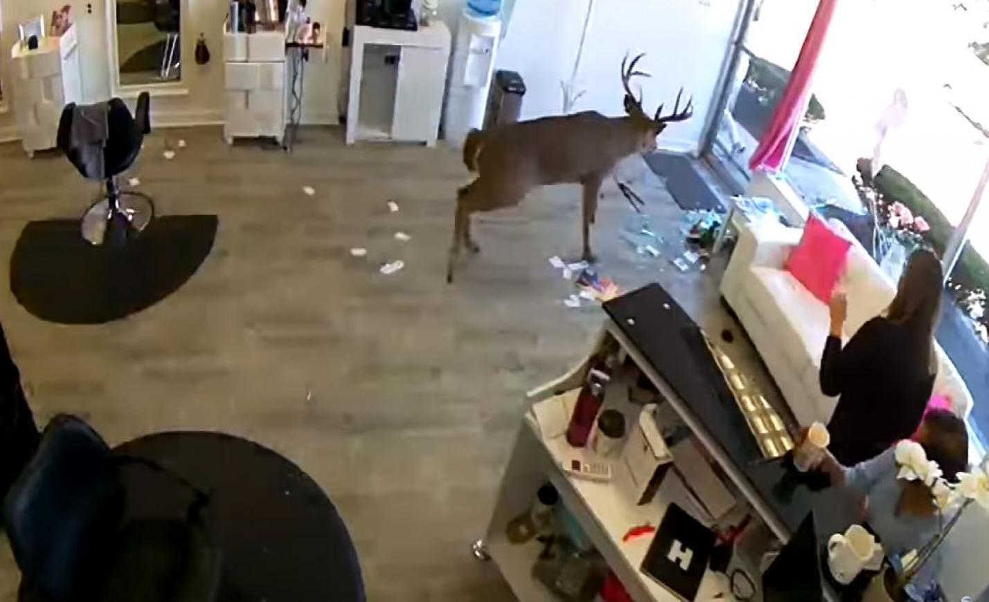 Az ablakon át ugrott be egy szarvas egy fodrászatba - videó