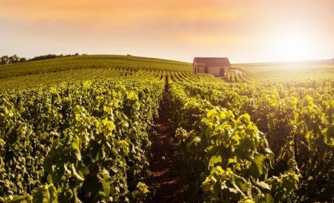 Bűvészet a bioszőlő? A legvakmerőbbek a világ legdrágább borvidékén is bevállalják