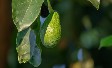 Itt a világ legnagyobb avokádója: ki nem találnád hány kilós