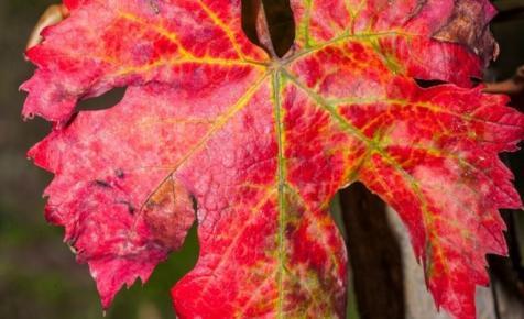 Óriási a veszély: újabb borvidéken bukkant fel a súlyos szőlőbetegség