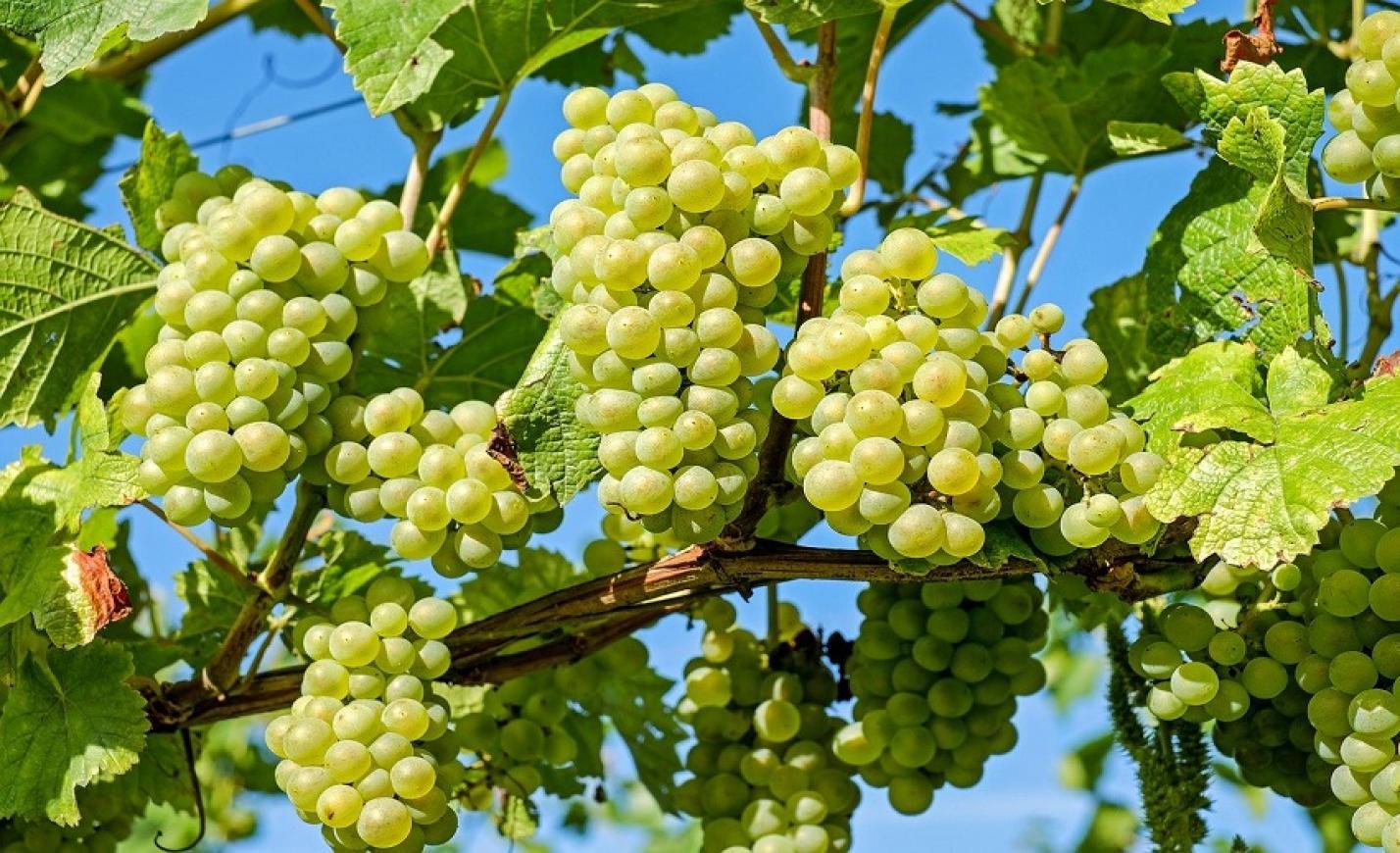 Nőtt a Varga Pincészet minőségi borai iránti kereslet a tavalyi évben