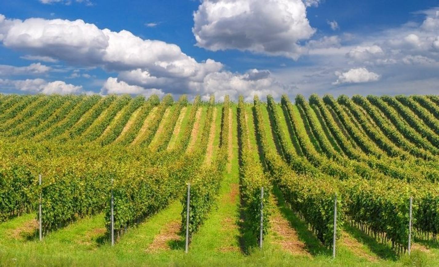 A kőkemény aszály durván keresztbe tehet a magyar borászoknak