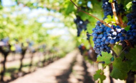 Hamarosan szüretelik a villányi borvidék jellegzetes kékszőlőfajtáit
