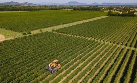 Megkezdődött a szüret Magyarországon: betett az időjárás a legkorábbi szőlőfajtának