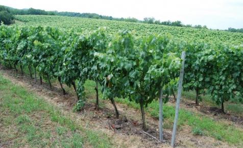 Vallottak a szekszárdi borászok: ez a szőlőfajta lehet a klímaváltozás nagy nyertese