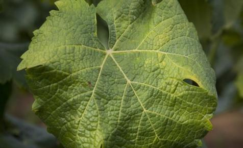 Súlyos fertőzés jelent meg a magyar borvidékeken