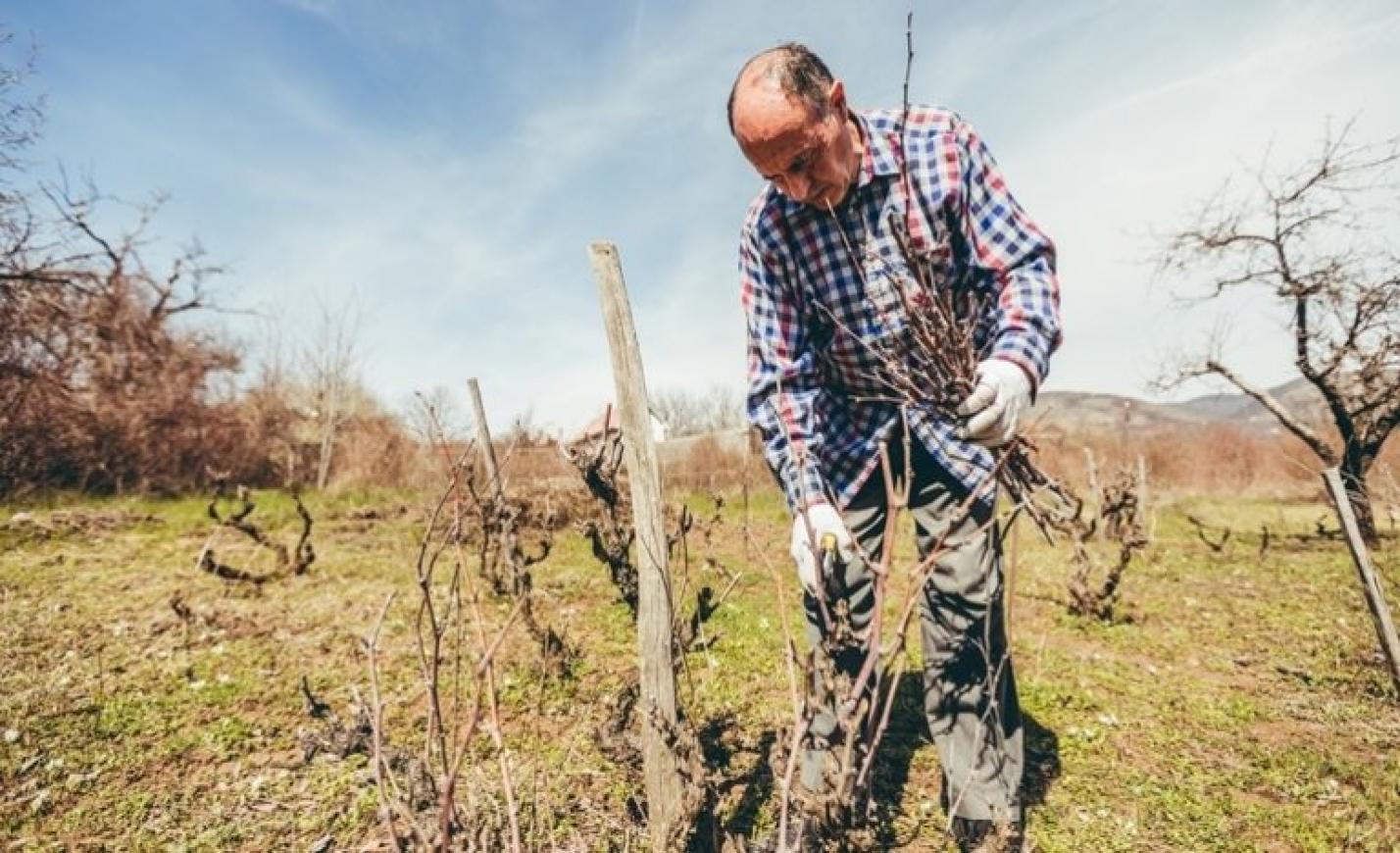 A szőlő metszése mikor történik? Szőlő metszése lugas esetében, szőlő metszése bortermelésnél