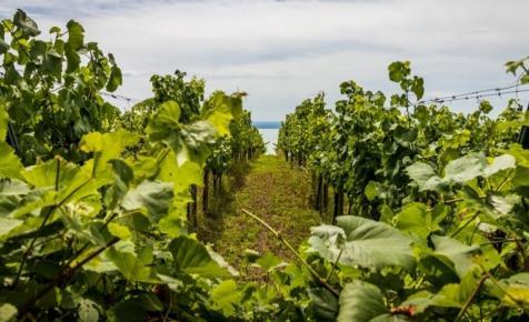 Ez lehet a magyar borászatok fekete éve: a karácsony sem mentheti meg őket