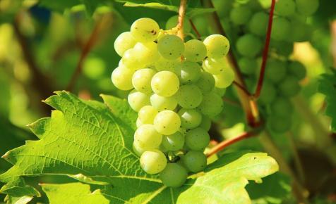 Amikor szőlőmagok írják a történelmet