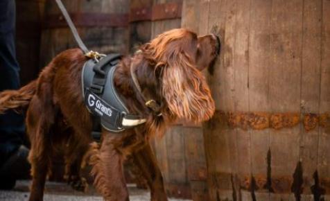 Egy spániel is dolgozik egy skót whiskygyárban