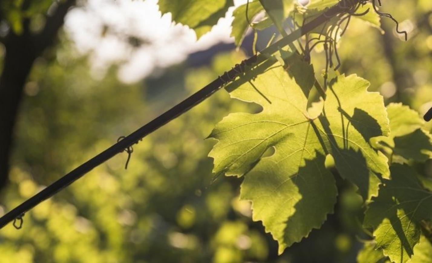 Veszélyben a tokaji borok? 25 éve nem látott jelenség sokkolja a termelőket