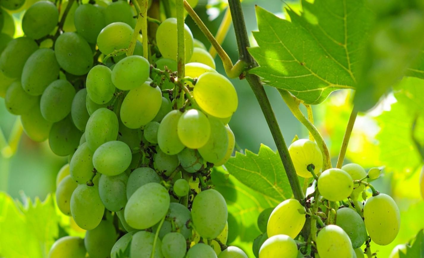 Hatalmas átalakulás történt a pécsi egyetem szőlészeti kutatóintézetének vezetésében
