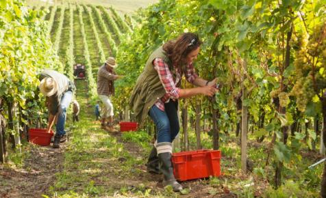 Megkezdődött a szüreti időszak Magyarországon: óriási a kereslet erre a szőlőre
