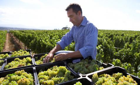 Bekeményít az agrártárca: sokat bukhatnak a tisztességtelen szőlőfelvásárlók