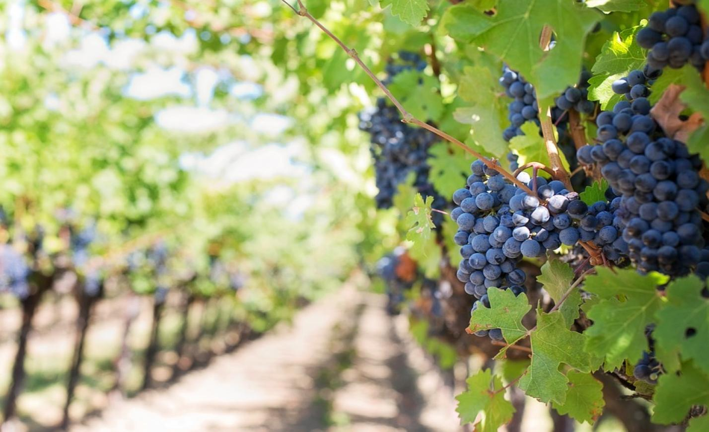Tisztességes felvásárlási árat érdemelnek a szőlőtermelők