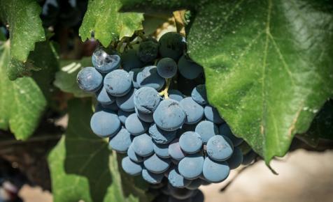 Jó minőségű, de kevesebb szőlő termett a szekszárdi borvidéken